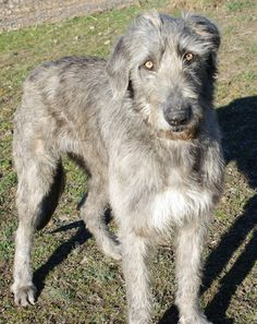 Irish Wolfhound...coming soon!