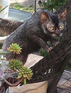 Lykoi Cat