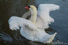 White Swan, Trying To Fly