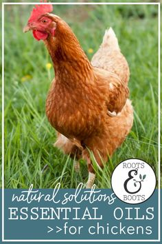 Essential oils for chickens: Safely and effectively repel insects, soothe injuries, and support healthy immune function for your laying hens. Here's a list of our favorite essential oils for chickens... Oregano Essential Oil, Essential Oils For Sleep, Essential Oil Uses, Backyard Chicken Coops, Diy Chicken Coop, Backyard Chickens, Dehydrated Chicken, Chicken Feed, Keeping Chickens