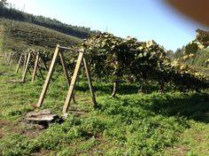 La Finca de www.cultivatuskiwis.com #elmejorkiwidelmundo #kiwi