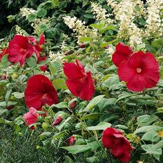 Hardy hibiscus forms showstopping 8- to 12-inch-diameter flowers on plants 3-6 feet tall. The blooms appear in shades of red, white, salmon, or pink. Although it grows best in moist soil, it tolerates drought well. Here it teams with oakleaf hydrangea (Hydrangea quercifolia and yew (Taxus spp.). Great combo of plants/color.