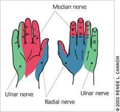 Median radial and ulnar nerve distribution google search more