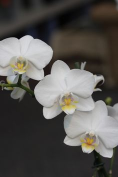 Trio of white orchids