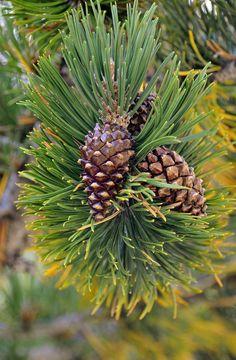 Pinus uncinata Ramond ex DC.