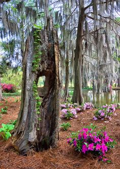 Cypress Trees, Southern Homes and Gardens, Willow Springs, Alabama by James Pellowski