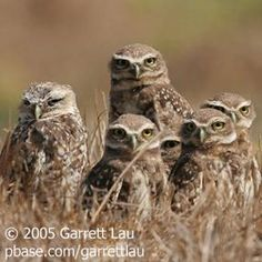 A Murder, a Party, a Stare, or a Siege | BirdNote a stare of owls