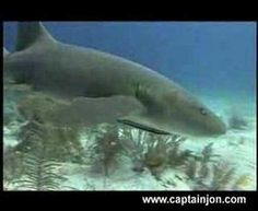 shark videos for preschool (not scary and no animal killings)