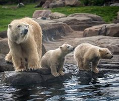 Three adorable polar bears are making their public debut at the Columbus Zoo in Ohio.