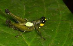 Ommatolampis leucoptera
