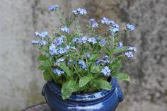 niezapominajka Parsley, Herbs, Plants, Balcony, Herb, Plant, Planets, Medicinal Plants