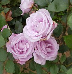 Розы – 29 фотографий