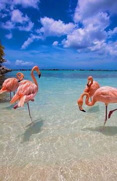 The only way to catch a glimpse of flamingos in Aruba is to go to Flamingo Beach on Renaissance Island a small private island owned by the Renaissance Hotel. Photo by . Flamingo Beach, Pink Flamingos, Aruba Flamingos, Flamingo Color, Affordable Honeymoon Packages, Beautiful Birds, Beautiful Places, Wonderful Places, Beautiful Beach