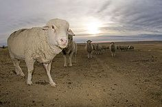Targhee sheep - Wikipedia, the free encyclopedia