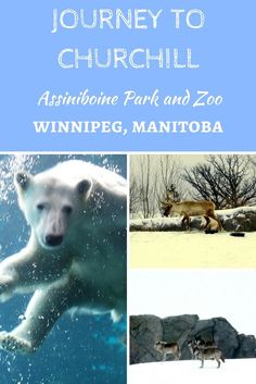 Journey to Churchill exhibit at Assiniboine Park and Zoo in Winnipeg, Manitoba, features polar bears, wolves, caribou, and other Arctic species. The exhibit educates visitors about the negative effects of climate change and about how we all can take part in conservation. via @workmomtravels