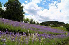 Wo es die schönsten Lavendelfelder in Österreich gibt - Reiseblog | Anita auf Reisen Provence, Vineyard, Nature, Travel, Outdoor, Wine Country, Lilac Flowers, Roots, Alps
