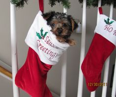 I'm doing this with my two Morkie puppies for Christmas!!!