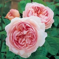Gentle Hermione - David Austin Roses