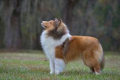 Sheltie. so fluffy, so loyal.