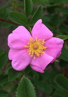 This is as close as you can get to a 'thornless' rose. Naturally occurring in prairies, meadows and open woodlands, Meadow rose has only a few small prickles at the base of the plant and has no thorns on the flower stems.