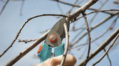 Calendario de poda Grafting Fruit Trees, Beats Headphones, Vegetable Garden, Bonsai, Gardening Tips, Garden Tools, Ideas Para, Avocado Tree, Peach