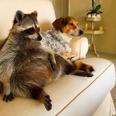 Orphaned Raccoon Lives With Dogs, Thinks She's One Of Them