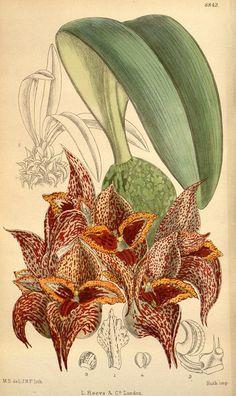 Bulbophyllum - v.146 [ser.4:v.16] (1920) - Curtis's botanical magazine.
