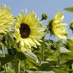Sunflower Butter Cream Seeds - Irish Plants Direct