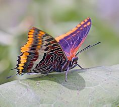 Two-tailed Pasha (Charaxes jasius) by greenwings.co: Also known as the Foxy Emperor, it's not the upper wings but the spectacular underwings that make it special. #Butterfly