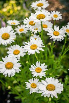 shasta daisy leucanthemum superbum becky