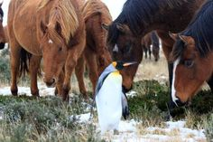 Definitely look at these horses meeting a penguin for the first time