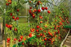 Ako predísť hubovým ochoreniam rajčín v skleníku?   Záhrada.sk