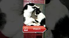 😸 Kucing Ondol Nenen Funny Cat Breast Feeding part 😼 nurlaliramarimari 😽 on Pet Lovers 😻