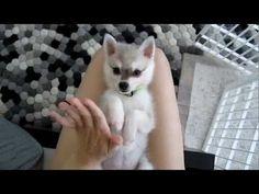 Alaskan Klee Kai: Super-Cute Mini Husky Puppies!