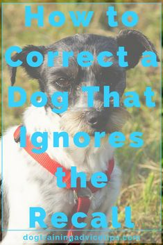Is Your Dog Ignoring Your Recall? Here�s How to Correct It | Dog Training Tips | Dog Obedience Training | Dog Training Commands | http://www.dogtrainingadvicetips.com/is-your-dog-ignoring-your-recall-heres-how-to-correct-it