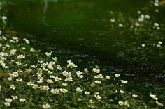 姫川源流のバイカモ(梅花藻)