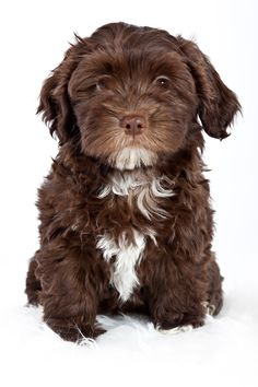 More About Bichon Habanero Havanese Puppies Havanese Brindle Source by The post Havanese Brindle appeared first on Kuba Dog Life. Havanese For Sale, Havanese Puppies, Baby Puppies, Maltipoo, Havanese Grooming, Schnauzer Grooming, Havanese Haircuts, Miniature Schnauzer Puppies, Schnauzer Puppy