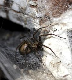 Common Spider Species: Brownish in color, hobo spiders are often confused with other brown spiders, including the brown recluse, because they have very few distinct features. Read more: Spider Species, Insect Species, Hobo Spider, Common Spiders, Rat Control, Creepy, Scary, Brown Recluse