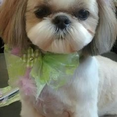 Pin By Bethany Merrie On Shih Tzu Dog Grooming Salons Shih Tzu Grooming Shitzu Dogs