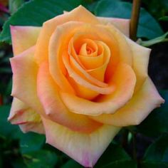 Beautiful Rose Flowers, Love Rose, Flowers Nature, Silk Flowers, Lavender Roses, Tea Roses, Rose Reference, Rose Pictures, Colorful Roses
