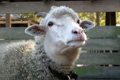 Gulf Coast sheep breed nearly year-round. Given their wild origins, the sheep are fairly independent and may be wary of people.