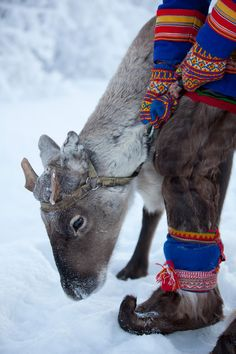 """Reindeer Calve -- or young -- whose antlers were taken for other use. Those are not """"Costumes"""", the Sami are around Hunting, and need to be SEEN in bright colors. It's the coldest part of Scandinavia, and they love their reindeer. Lappland, We Are The World, People Of The World, Christian Morgenstern, Thinking Day, Arctic Circle, Samar, Baja California, Cabo San Lucas"""