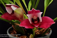 Bifrenaria Tyrianthina x Lycaste macrophylla-