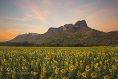 field of blooming sunflowers - Pinned by Mak Khalaf Travel agriculturebackgroundblossombotanicalbrightcropfieldfloralflowergreengrowgrowthmeadownaturalorganicoutdoorplantationrayshiningskysummersunsunbeamsunflowersunlightsunnysunrisesunsetviewyellow by golf_chalermchai