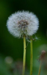 I will do no weeding. The dandelions are welcome here.