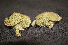 Tortue à deux têtes [video] - http://www.2tout2rien.fr/tortue-a-deux-tetes/