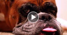 10 Funniest Boxer Videos | Trending