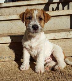 ♡ r o y a l m i s f i t ♡ Baby Puppies, Cute Puppies, Cute Dogs, Dogs And Puppies, Funny Dogs, Animals And Pets, Baby Animals, Cute Animals, Jack Russell Terrier