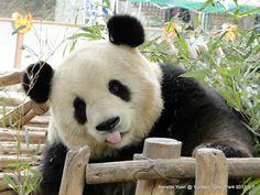 The Science behind Our Love of Pandas