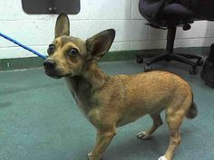 PRINCESS (A1645525) I am a female tricolor Terrier mix.  The shelter staff think I am about 3 years old.  I was found as a stray and I may be available for adoption on 09/23/2014. — hier: Miami Dade County Animal Services. https://www.facebook.com/urgentdogsofmiami/photos/pb.191859757515102.-2207520000.1411328456./842206792480392/?type=3&theater